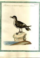 <strong>Procellaria o sia Uccello di tempesta</strong>