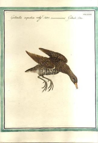 <strong>Gallinella acquatica detta Sutro</strong>