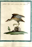 <strong>Gallinella palustre piccola</strong>